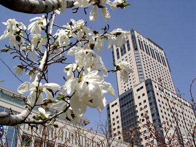 北国の春〜キタコブシの花