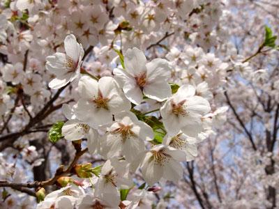 石狩市厚田の桜と佐藤水産のおにぎり