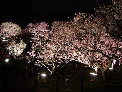 平岡公園の梅、今年もライトアップ!