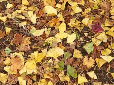 北大のイチョウ並木、今年の出来は?