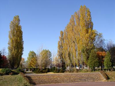晩秋の伏古公園〜ポプラの黄葉